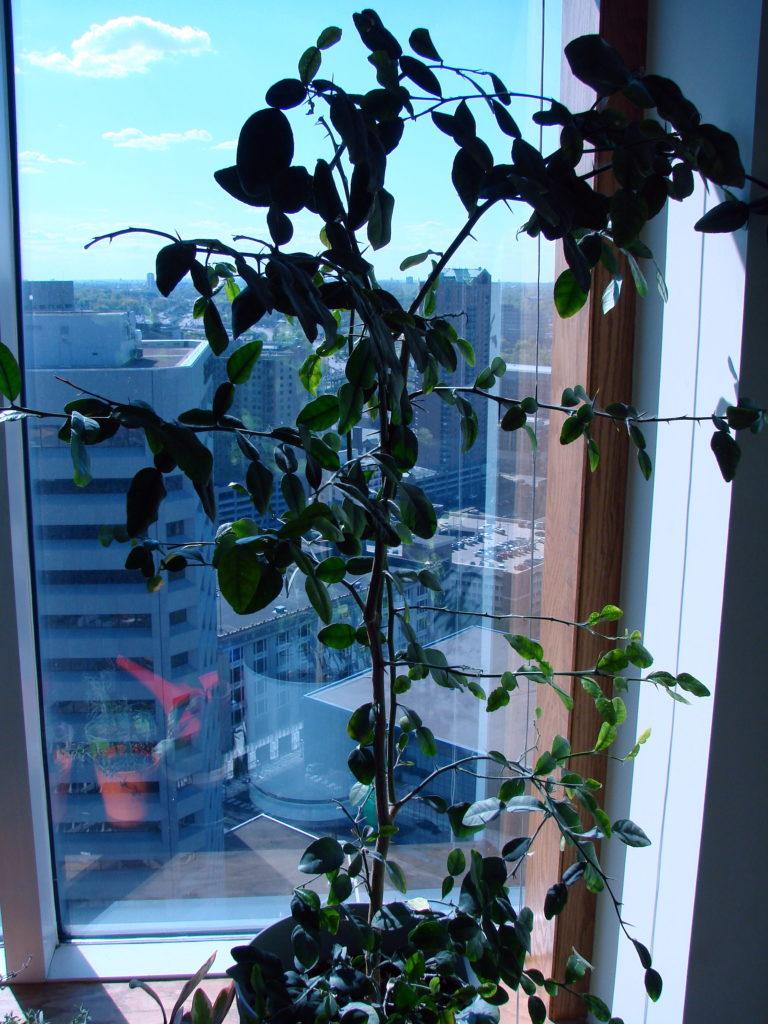 My scraggly lime-leaf plant.